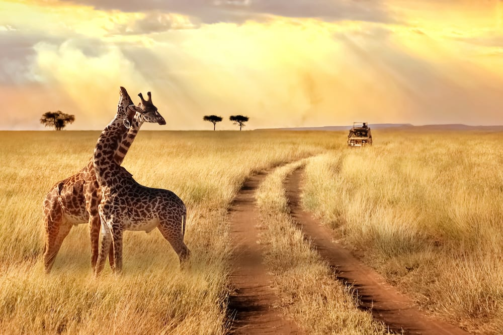 Two giraffes at sunset on luxury Africa safari game drive