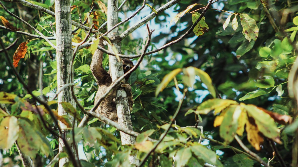 Wild sloth in the rainforest on an Amazon River Cruise