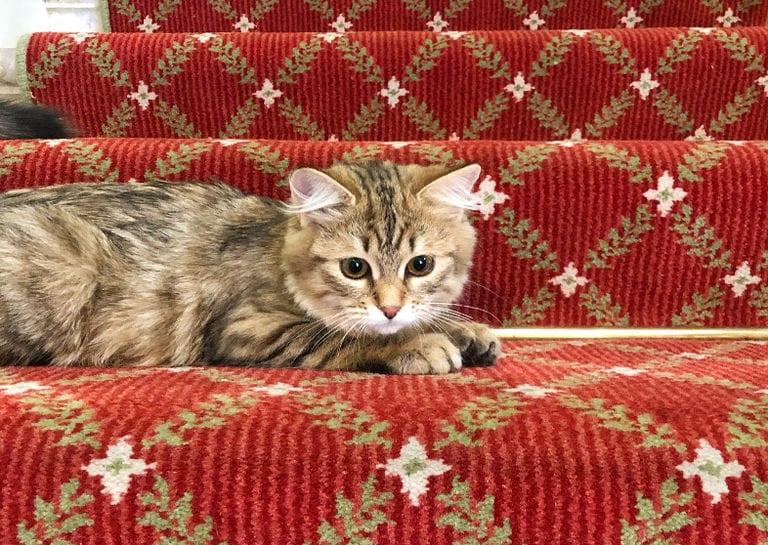 Hotel kitten Lilibet at The Lanesborough, Oetker Collection
