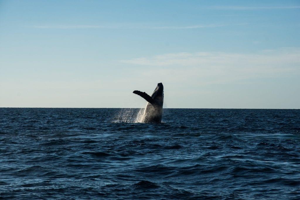 Humpback whales in Riviera Nayarit